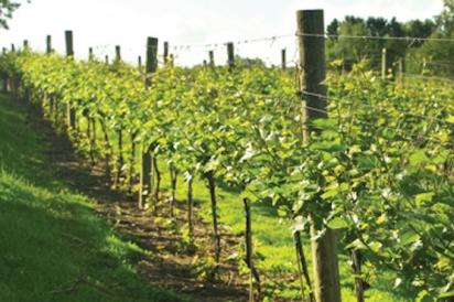 Vines at Greendance WInery
